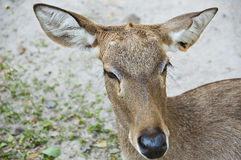 Burmese brow-antlered deer. Stock Photography