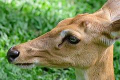 Burmese brow-antlered deer Stock Image