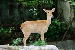 Burmese brow-antlered deer Royalty Free Stock Images