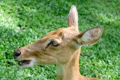 Burmese brow-antlered deer Royalty Free Stock Photo