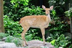 Burmese brow-antlered deer Royalty Free Stock Image