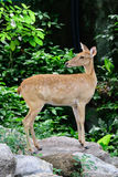 Burmese brow-antlered deer Royalty Free Stock Photography
