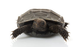 Burmese Brown Tortoise Stock Photo