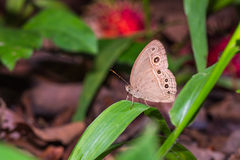 Burmese Bushbrown butterfly Stock Images