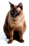Burmese Cat. A Burmese cat on white background royalty free stock photography