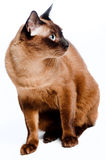 Burmese Cat. A Burmese cat on white background royalty free stock photo