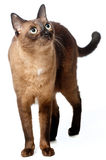 Burmese Cat. A Burmese cat on white background stock image