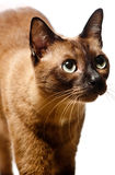Burmese Cat. A portrait of a young Burmese cat shot in studio on white background stock photos