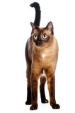 Burmese Cat. A portrait of a young Burmese cat shot in studio on white background stock photography