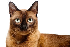 Burmese Cat. A portrait of a young Burmese cat shot in studio on white background royalty free stock images