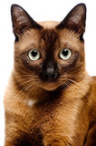 Burmese Cat. A portrait of a young Burmese cat shot in studio on white background stock image