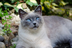 Burmese cat. With blue eyes stock images