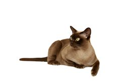Burmese Cat. Burmese female cat looking to the side on a white background royalty free stock photography