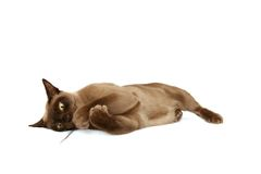 Burmese cat. Playing with a feather on white background stock photos