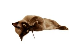 Burmese cat Stock Image