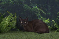 Burmese cat on a background of wild jungle Royalty Free Stock Photo