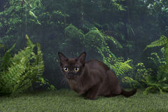 Burmese cat on a background of wild jungle Stock Photos