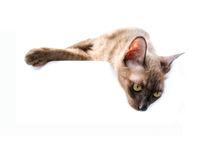 Burmese cat Banner Sign Stock Image