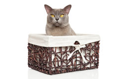 Burmese cat in basket on white Royalty Free Stock Image