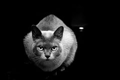 Burmese cat in black and white Stock Photo