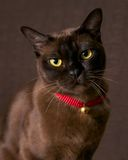 Burmese cat. On brown background Stock Photos