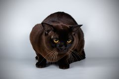 Burmese cat on colored backgrounds. Studio photography of a burmese cat on colored backgrounds royalty free stock images