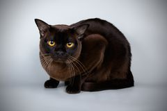 Burmese cat on colored backgrounds. Studio photography of a burmese cat on colored backgrounds royalty free stock photography