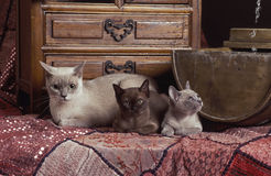 Burmese cat family. A mother burmese with a two kittens on a pink texturized blanket in front of a drawer chest. the mother and one of the kittens are champagne royalty free stock image