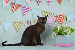 Burmese cat on a festive background with flags.  Stock Photo