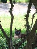 Burmese cat royalty free stock image