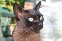 Burmese Cat Stock Photo