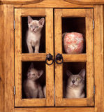 Burmese cat and kittens. A mother burmese with a two kittens on the shelves of an old furniture stock image