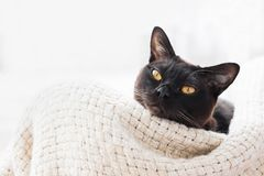 Burmese cat lying in a basket and looks to the camera.  Top view. Burmese cat lying in a basket and looks to the camera, light background. Top view, copy space royalty free stock image