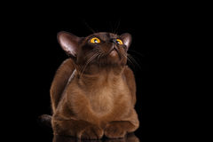 Burmese Cat Lying and Curious Looking up black Isolated Stock Images