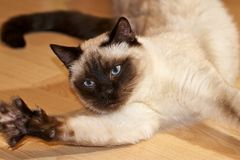 Burmese cat at play Stock Photos