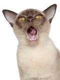 Burmese cat portrait Royalty Free Stock Photography