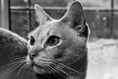 Burmese cat portrait stock images