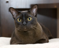 Burmese cat Royalty Free Stock Image