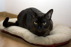 Burmese cat. Portrait burmese cat lying and posing looking into the lens stock photos