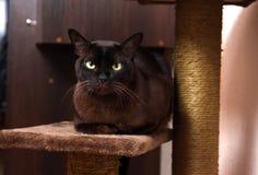 Burmese cat Royalty Free Stock Photography
