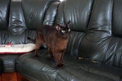 Burmese cat. Portrait burmese cat lying and posing looking into the lens stock photos