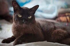 Burmese cat. Portrait burmese cat lying and posing looking into the lens royalty free stock photography