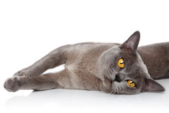 Burmese cat resting Royalty Free Stock Photo