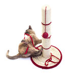 Burmese Cat. With a scratching post and Red Ribbon royalty free stock images