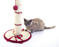 Burmese Cat. With a scratching post and Red Ribbon royalty free stock photos