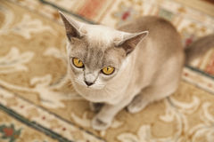 Burmese cat sitting on the soft carpet Stock Photo