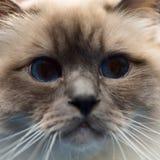 burmese cat snout Stock Photography