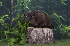 Burmese cat on a stump in the jungle.  Royalty Free Stock Photography
