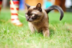 Burmese cat walking on green grass Stock Photo