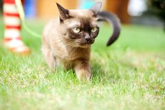 Burmese cat walking on green grass Stock Images